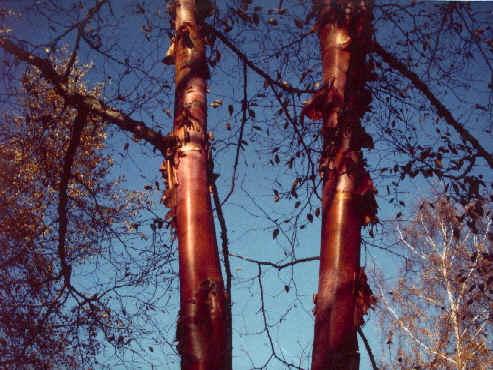 Betula albosinensis 'Septentrionalis' (kobberbirk)
