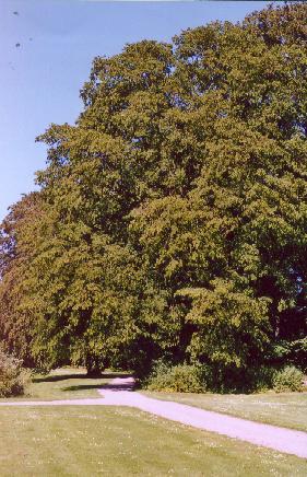 Carpinus betulus (avn/avnbøg )