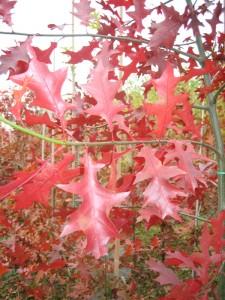Quercus palustris (sumpeg)