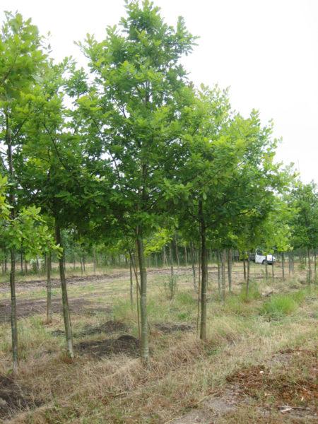 Quercus petraea (vintereg)