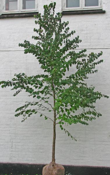 Cercidiphyllum japonicum (hjertetræ)