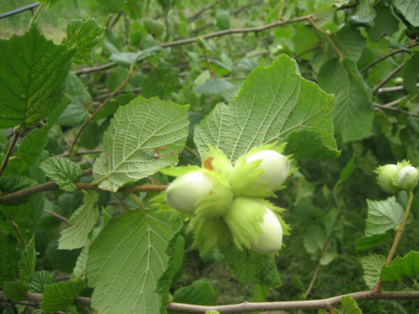 Corylus avellana (hasselnød)