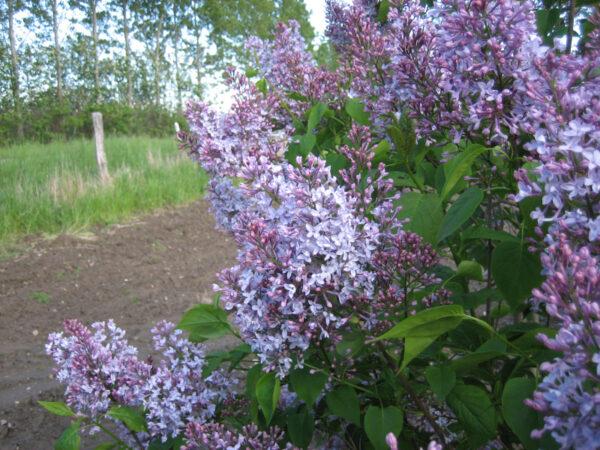 Syringa hyacinthiflora 'Swartmore' (storblomstret syren)