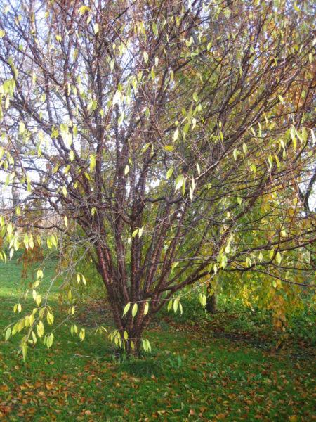 Prunus serrula (tibetansk kirsebær), flerstammet
