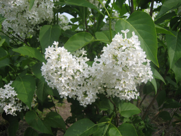 Syringa vulgaris Alba (alm. hvid syren)