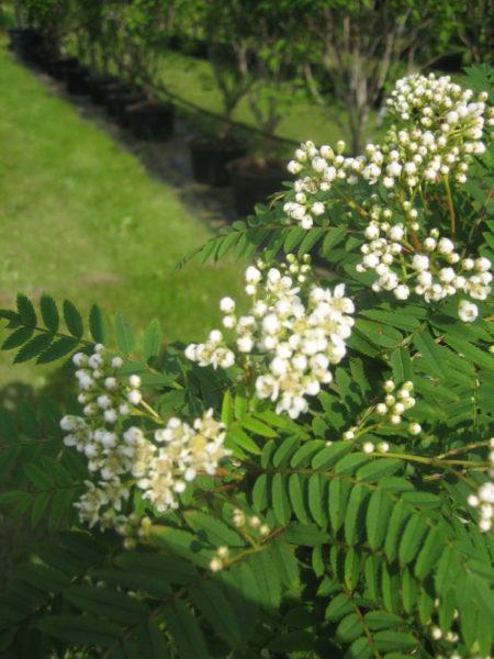 Sorbus koehneana (perlerøn)