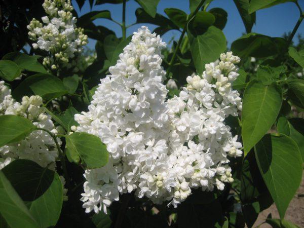 Syringa vulgaris 'Mme Lemoine' (hvid fyldt syren)