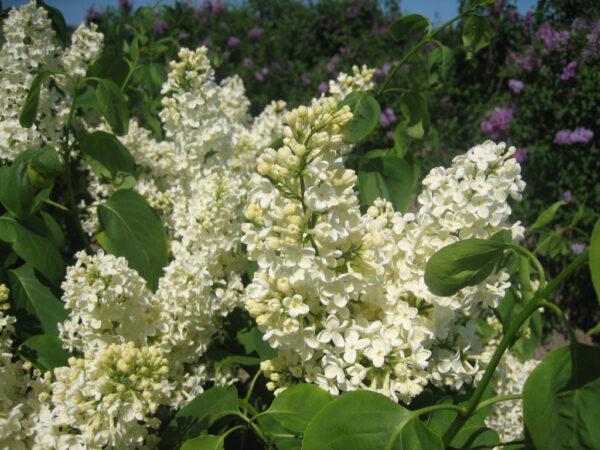 Syringa vulgaris 'Primrose Superb' (storblomstret syren)