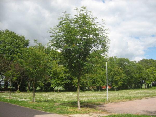 Sorbus ulleungensis 'Dodong' (røn)
