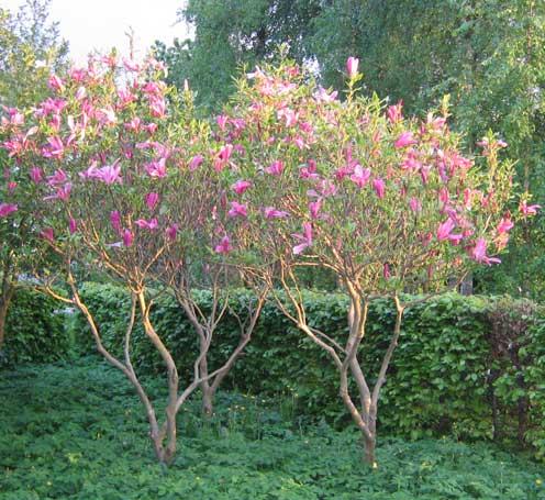 Magnolia lilliflora 'Susan' (magnolie)
