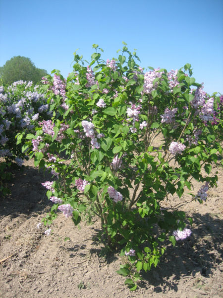 Syringa vulgaris 'Mirabeau' (storblomstret syren)