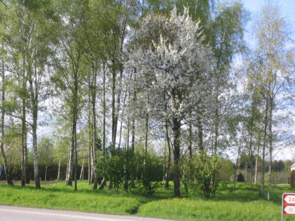 Prunus avium (fuglekirsebær)