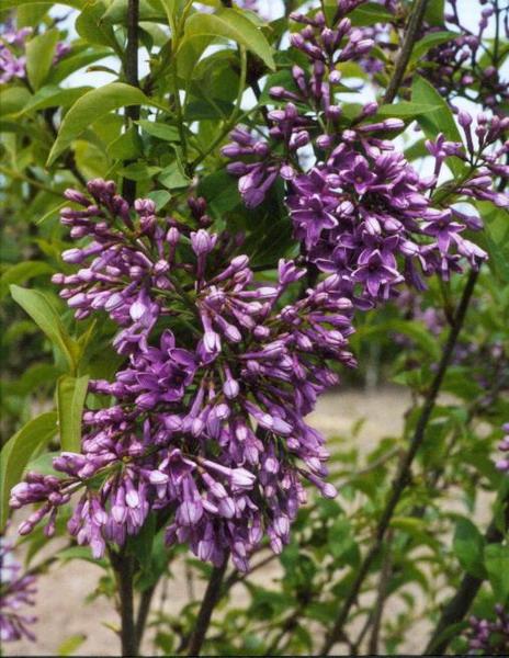 Syringa sinensis 'Saugeana' (kinesisk syren)