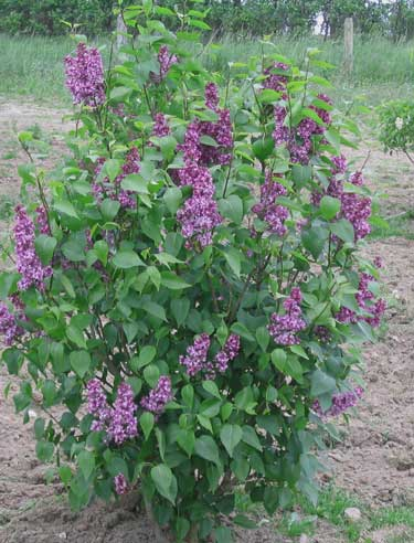 Syringa vulgaris 'Charles Joly' (alm. syren)