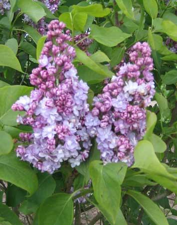 Syringa vulgaris 'Michel Buchner' (storblomstret syren)