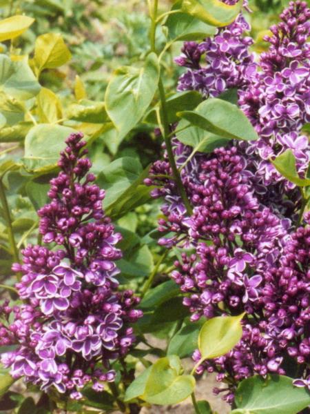 Syringa vulgaris 'Sensation' (storblomstret syren)