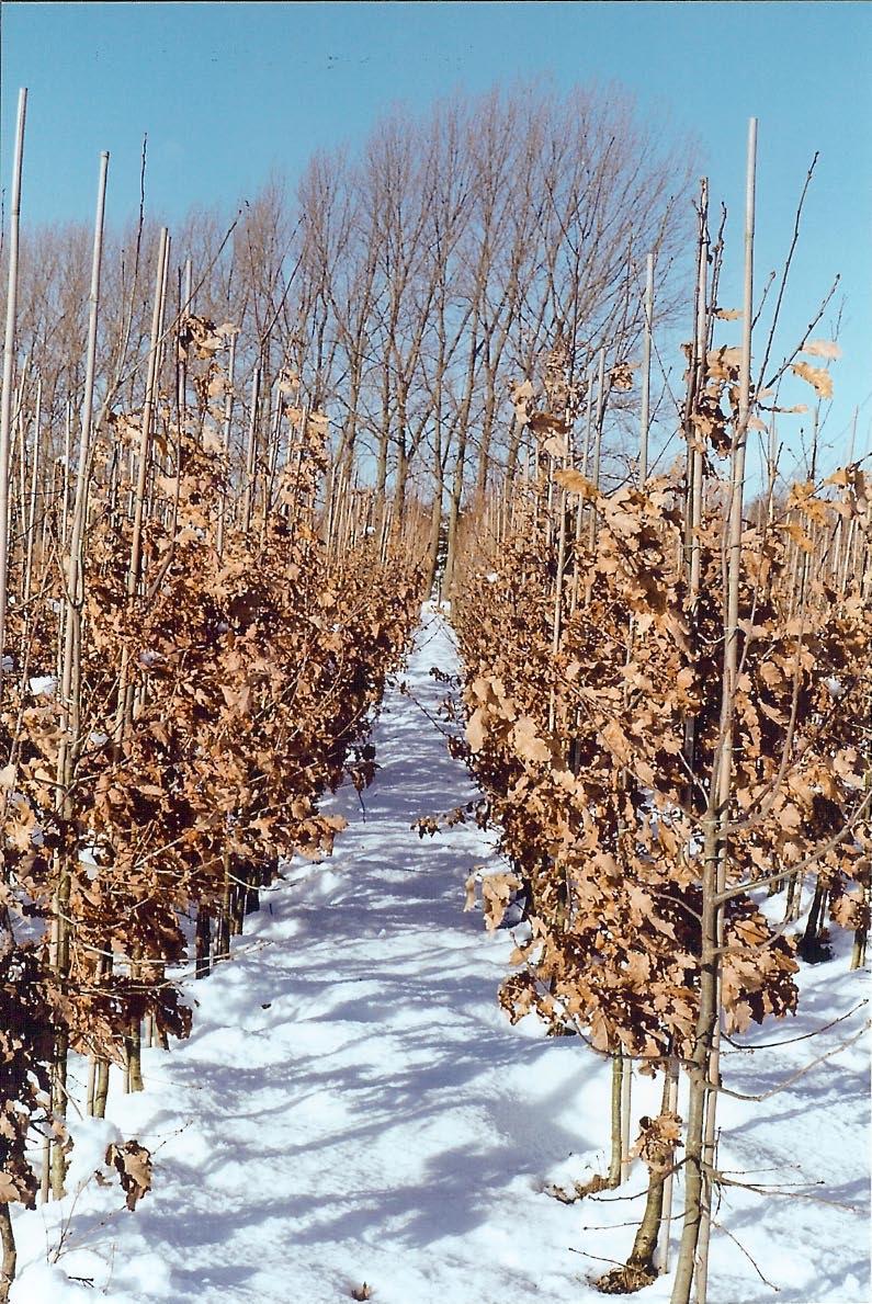 Quercus petraea (vintereg), stambusk