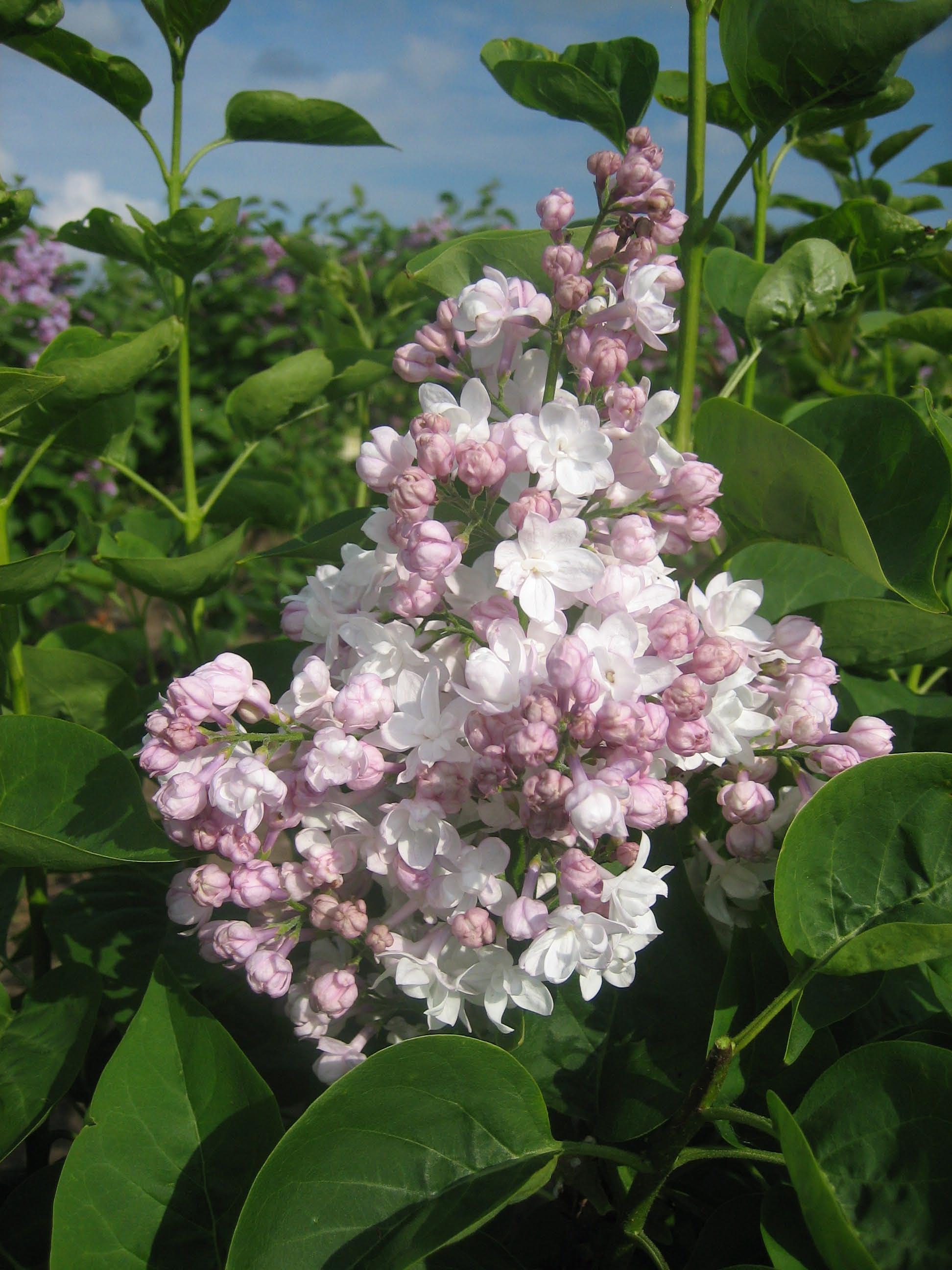 Syringa vulgaris 'Beauty of Moscow' (alm. syren)