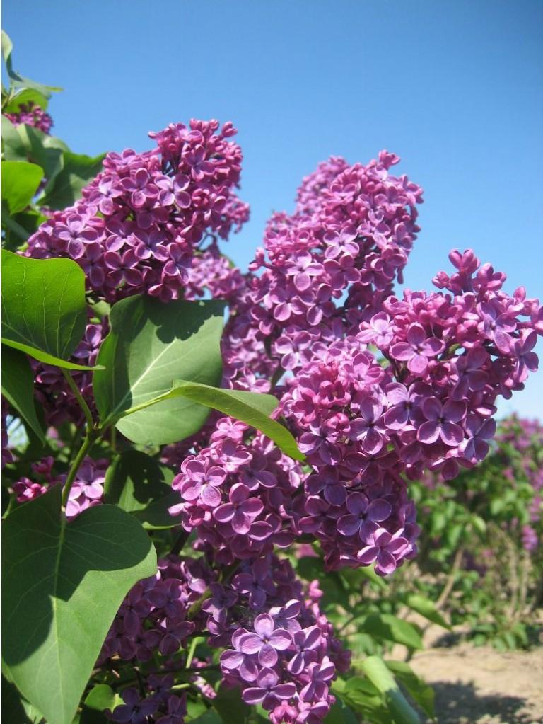 Syringa vulgaris 'Ludwig Spaeth' (alm. syren)