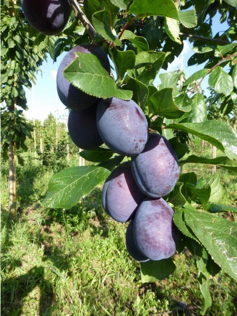Prunus domestica 'JoJo' (blommetræ)