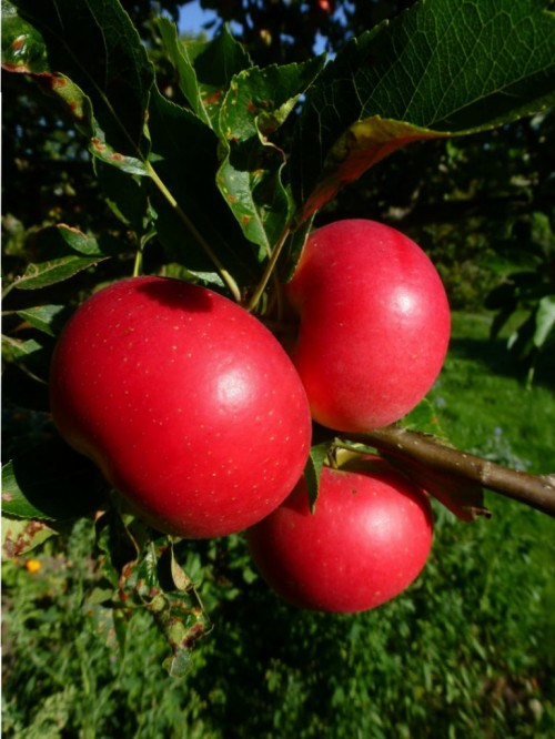 Malus domestica 'Discovery' (spiseæble)