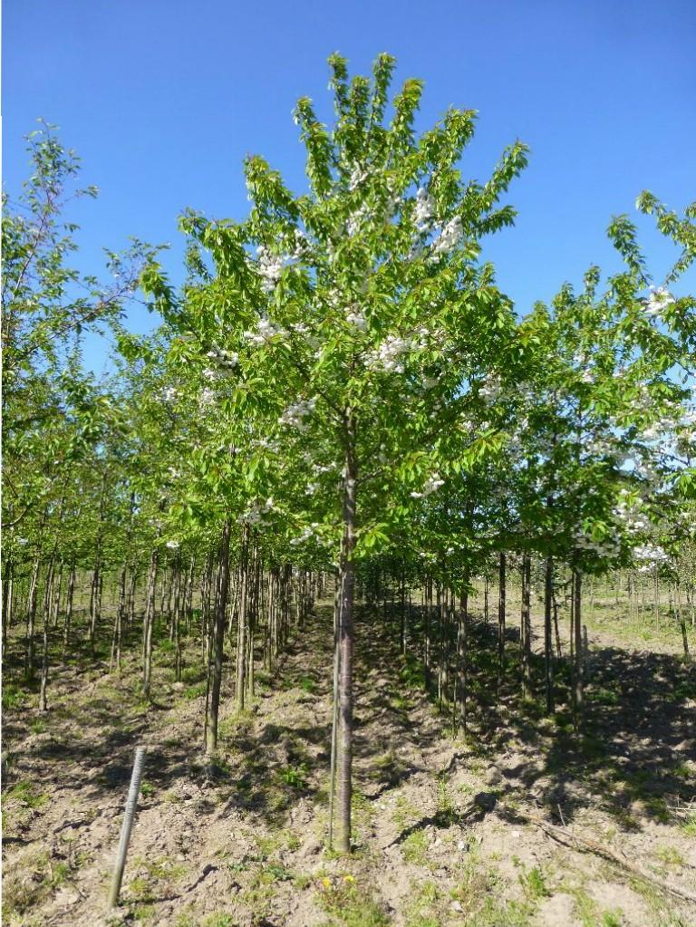 Prunus avium 'Plena' (dobbeltblomstret fuglekirsebær)