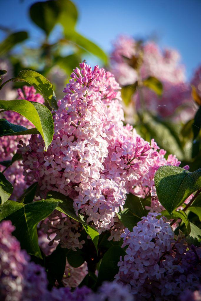 Syringa hyacinthiflora 'Fynsk Forår' (alm. syren), opstammet