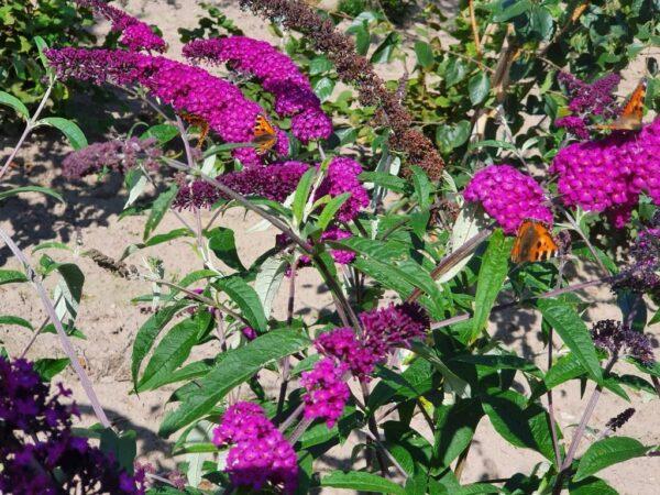 Buddleja davidii 'Royal Red' (sommerfuglebusk)