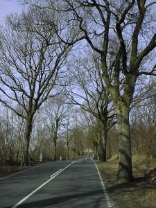 Quercus robur (stilkeg), stambusk