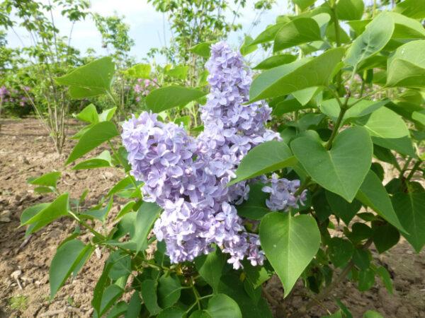 Syringa vulgaris 'Carpe Diem' (alm. syren)