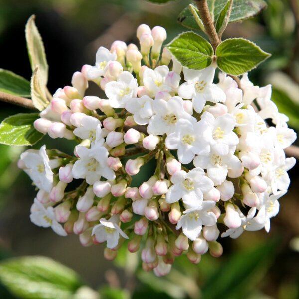 Viburnum burkwoodii (duftsnebolle)