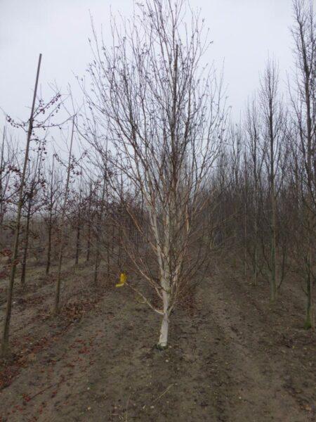 Betula utilis (himalayabirk), stambusk