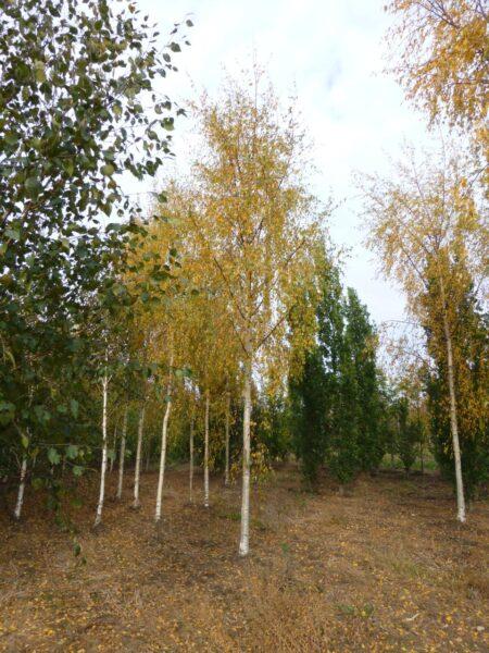 Betula pendula 'Dalecarlica' (hængebirk)