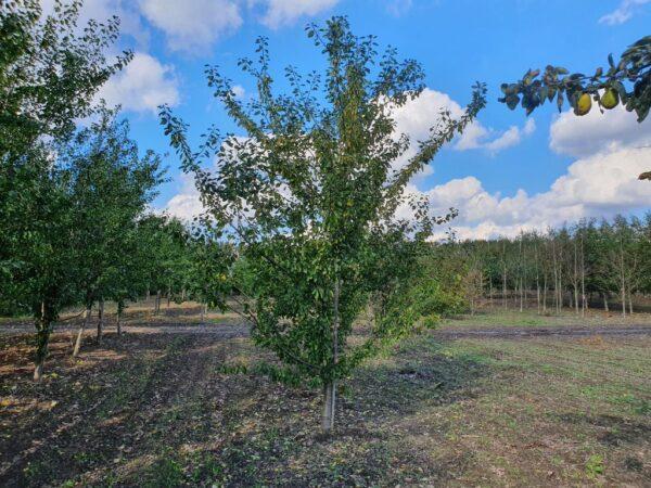 Prunus domestica 'Opal' (blommetræ)