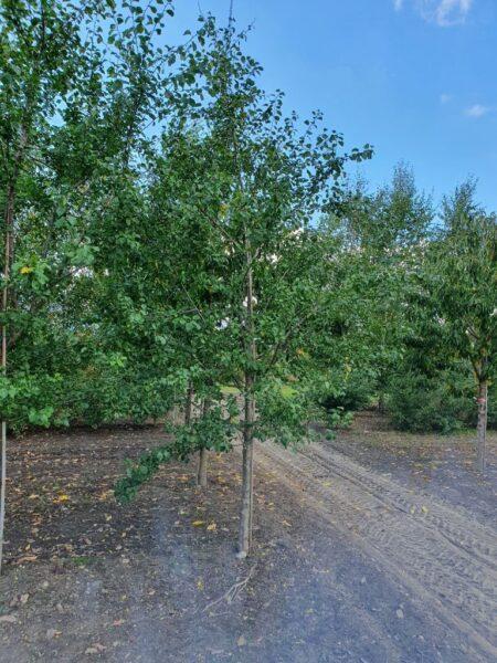 Prunus domestica 'Toptaste' (spiseblomme)