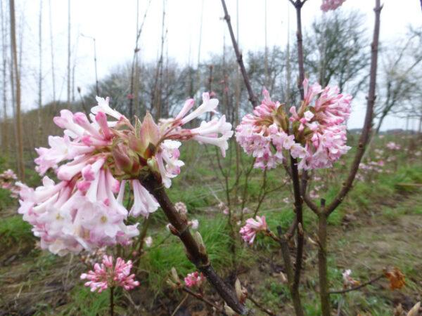 Viburnum bodnantense 'Dawn' (kejserbusk)